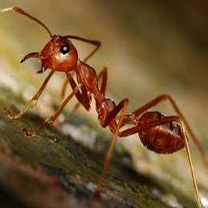 ant control in Apex