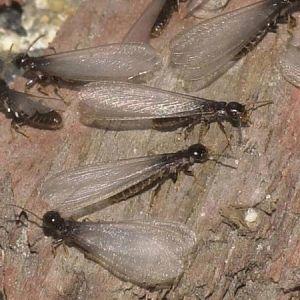Pest Control - Termites